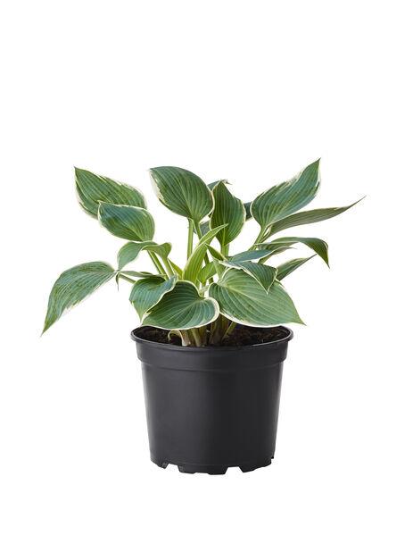 Funkia, grön- och vitbrokig, Höjd 35 cm, Flerfärgad