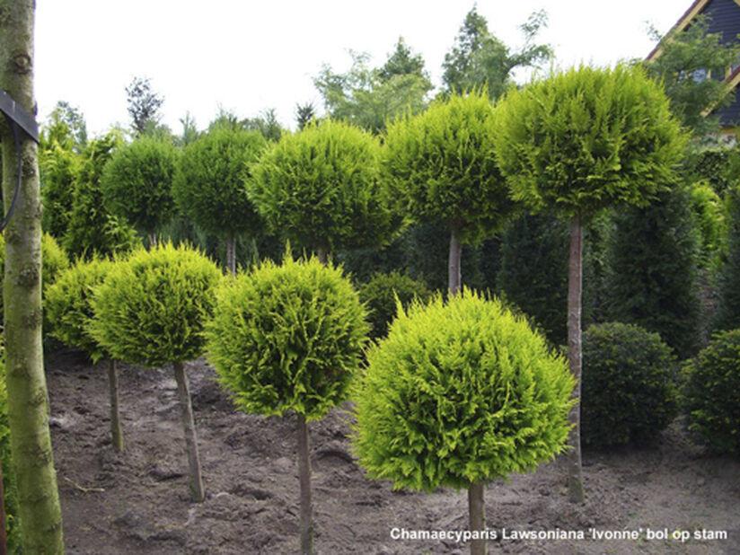 Häcktuja 'Brabant' på stam, Höjd 60 cm, Grön
