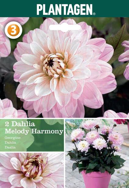 Dahlia 'Glory Harmony', Rosa