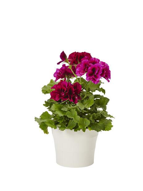 Engelsk pelargon mörk lila