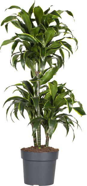 Doftdracena 'Gold Coast', Höjd 35 cm, Grön