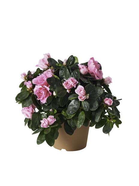 Azalea, Ø10.5 cm, Rosa
