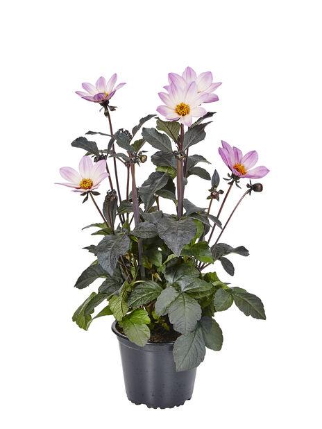 Dahlia, Ø14 cm, Rosa