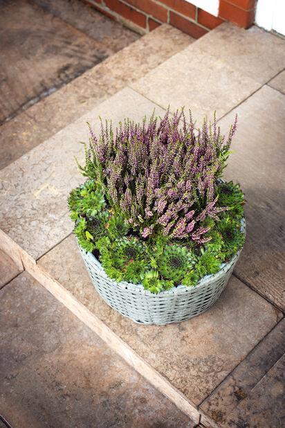 Höstljung 'Garden Girls', Ø9 cm, Flera färger