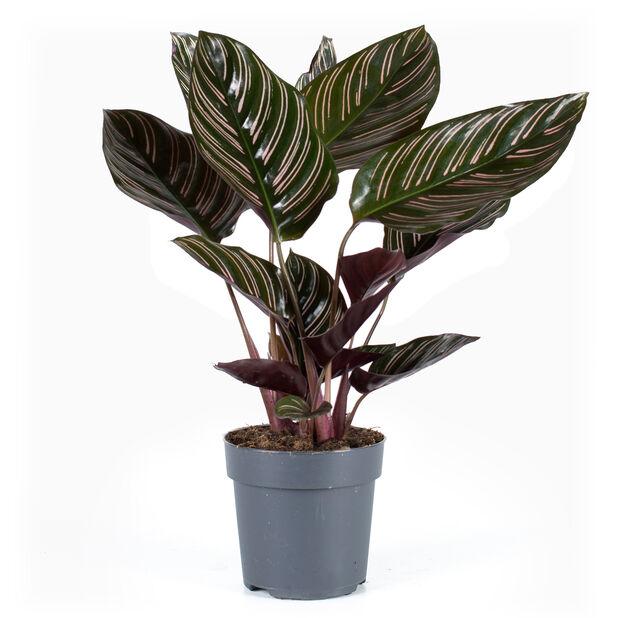 Finkalatea 'Sanderiana', Höjd 30 cm, Grön
