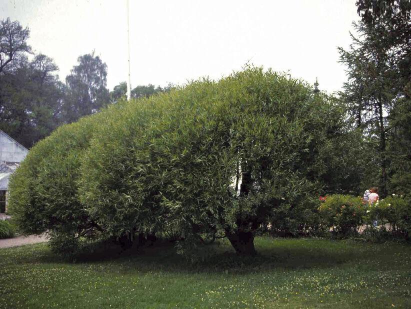 Klotpil på stam