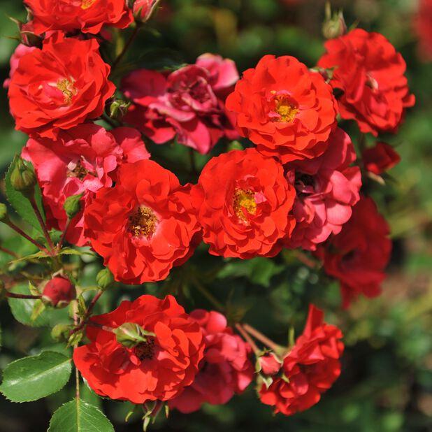 Klasblommig ros, Ø19 cm, Röd