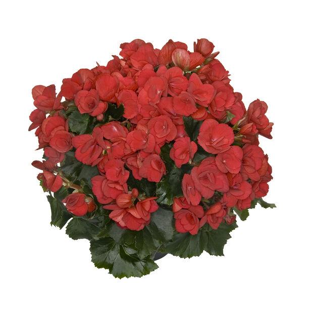 Begonia Betulia, Ø19 cm, Flera färger