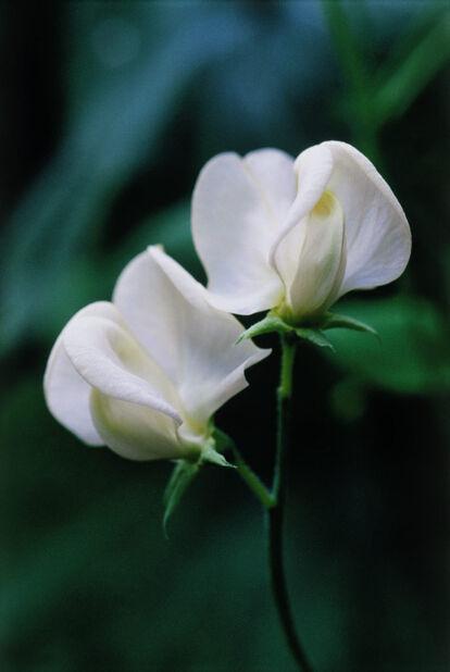 Rosenvial 'White Pearl', Ø11 cm, Vit