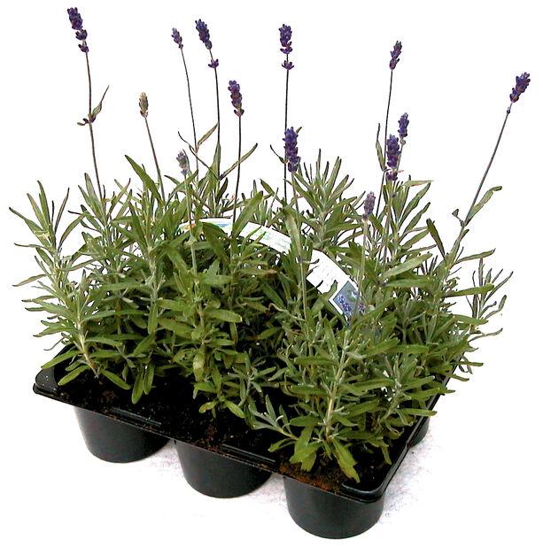 Lavendel, 6-pack, Blå