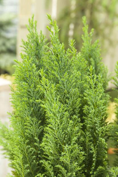 Ädelcypress Ellwoodii, Höjd 30 cm, Grön