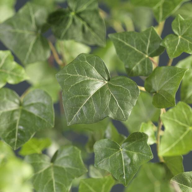 Storbladig murgröna, Höjd 50 cm, Grön