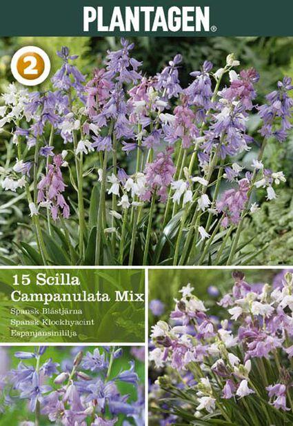 Scilla campanulata mix, Flera färger