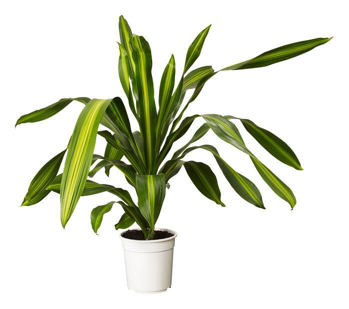 Doftdracaena BURLEY, Höjd 120 cm, Grön