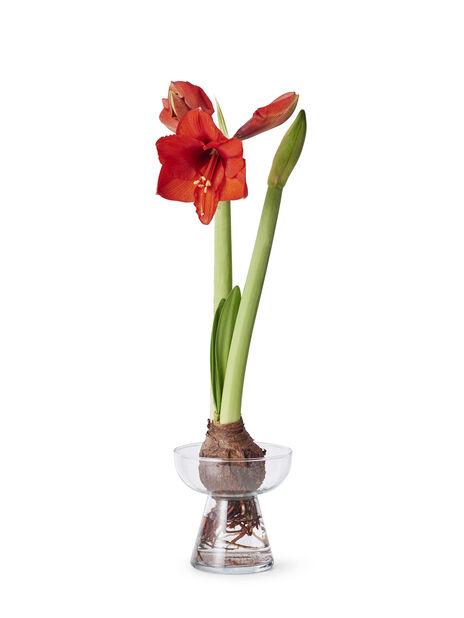 Amaryllisvas, Höjd 15 cm, Transparent