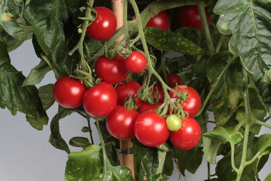 Körsbärstomat 'Gartenfreude', Ø12 cm, Röd