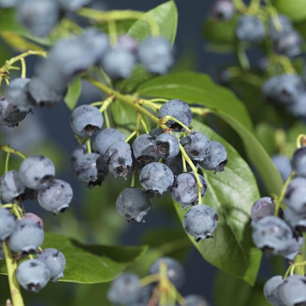Amerikanskt blåbär 'Northland' , Höjd 20 cm, Blå