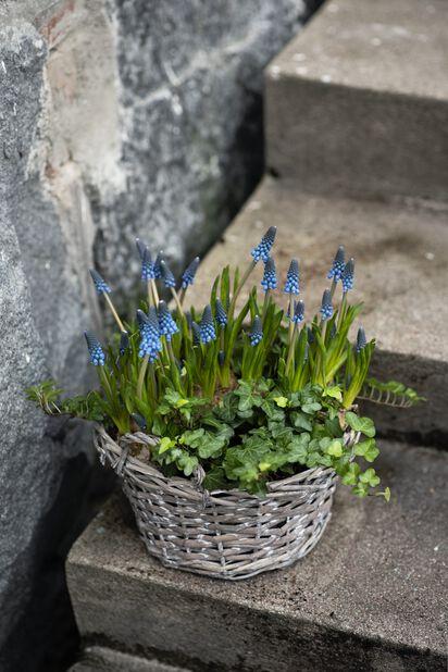 Persisk pärlhyacint 'Blue Magic' , Ø12 cm, Blå