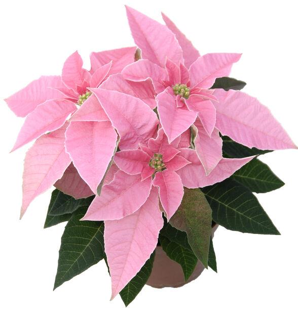 Julstjärna 'Princettia' , Höjd 30 cm, Rosa