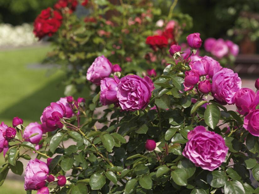 Heidi Klum - Klasblommig ros