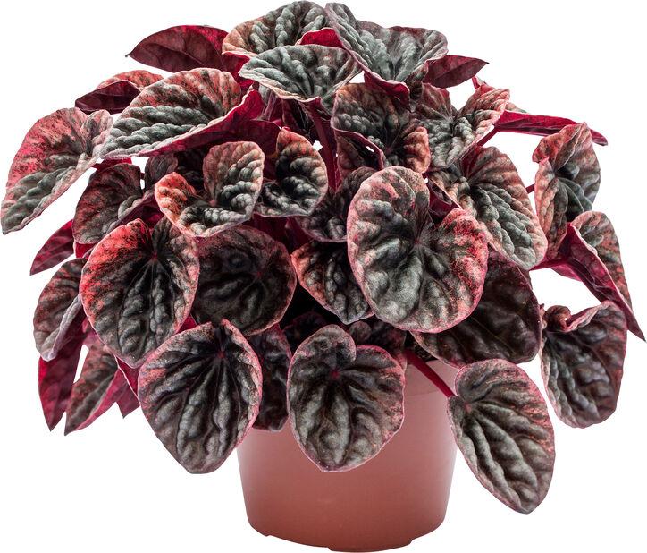 Ispigg 'Abricos', Höjd 20 cm, Röd