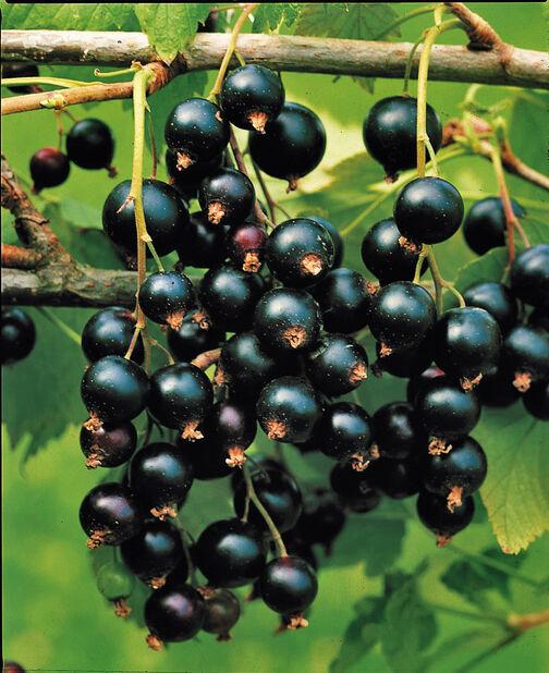 Svarta vinbär 'Öjebyn' på stam, Ø22 cm, Grön