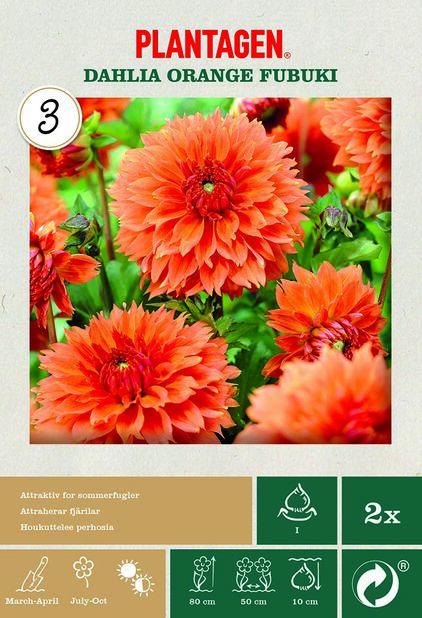 Fransdahlia 'Orange Fubuki', Orange
