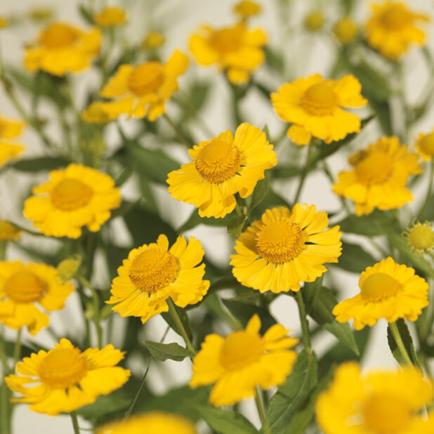 Trädgårdssolbrud 'Salud Yellow', Höjd 45 cm, Gul