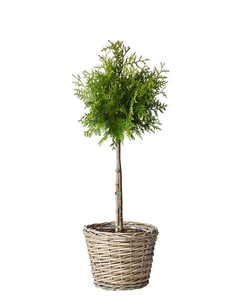 Tuja 'Brabant' på stam, Höjd 50-70 cm, Grön