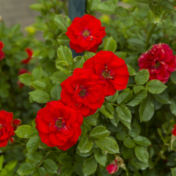 Klätterros 'Jive', Höjd 60-80 cm, Röd