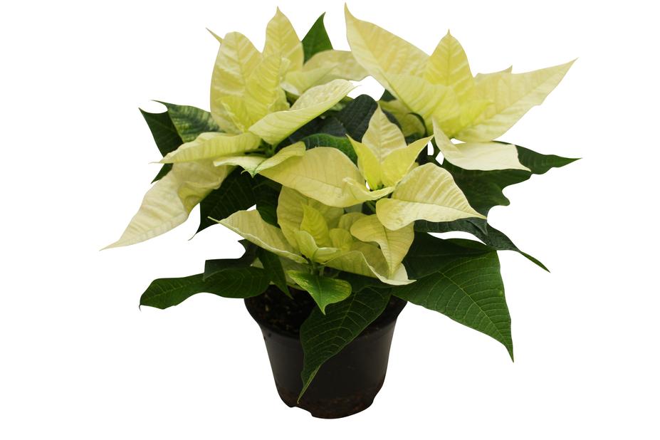 Julstjärna flergrenad, Höjd 40 cm, Vit