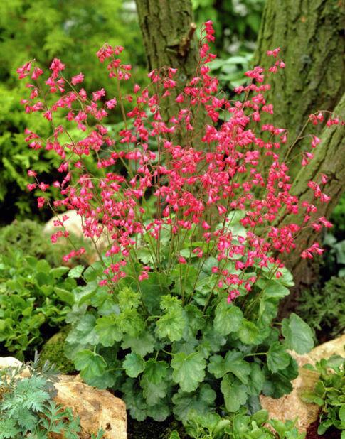 Blodalunrot 'Splendens', Ø11 cm, Röd