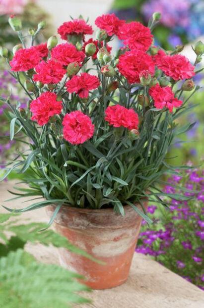 Trädgårdsnejlika 'Odessa Red', Höjd 15 cm, Röd