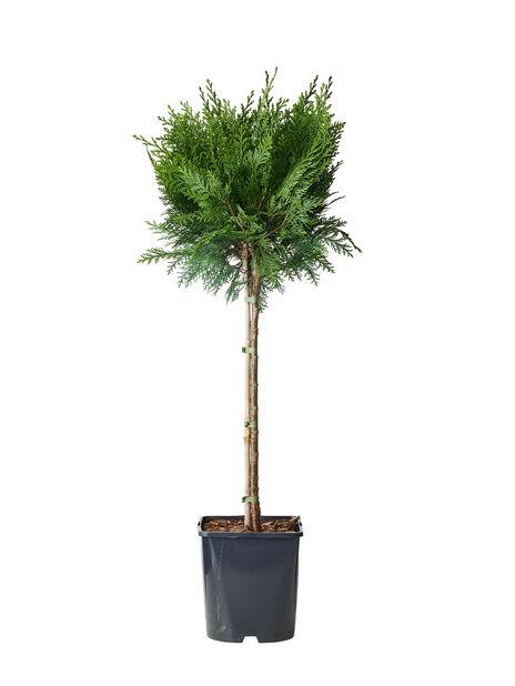 Ädelcypress 'White Spot', Höjd 60-80 cm, Blå