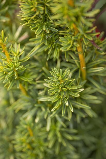 Idegran 'David', Höjd 30-40 cm, Grön