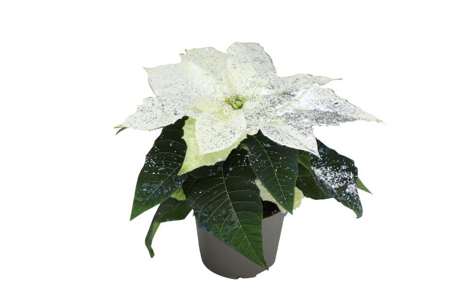 Julstjärna mini, Höjd 8 cm, Vit