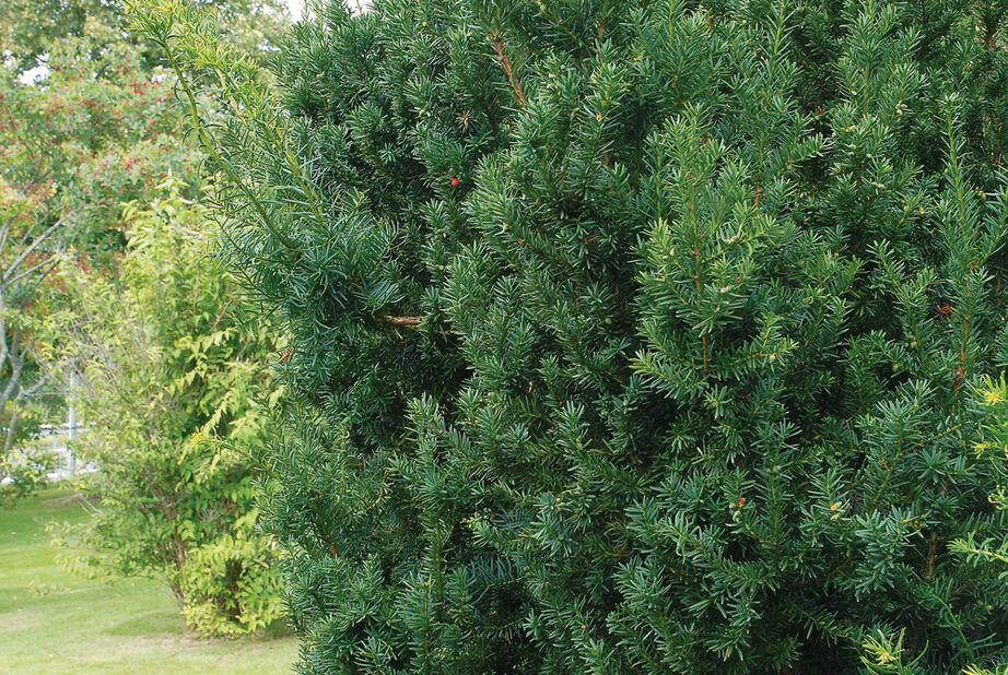Hybrididegran 'Hillii', Höjd 30 cm, Grön