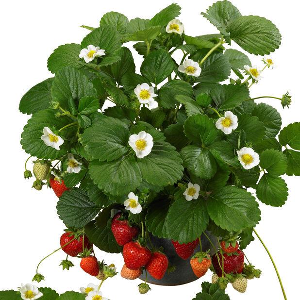 Jordbær 'Delizz'
