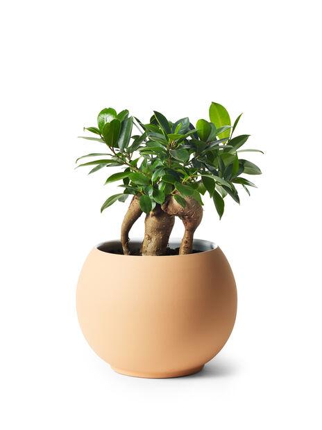 Citronfikus, Höjd 25 cm, Grön