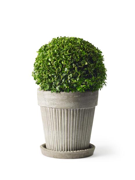 Trädbuxbom 'Arborescens', boll, Höjd 30 cm, Grön