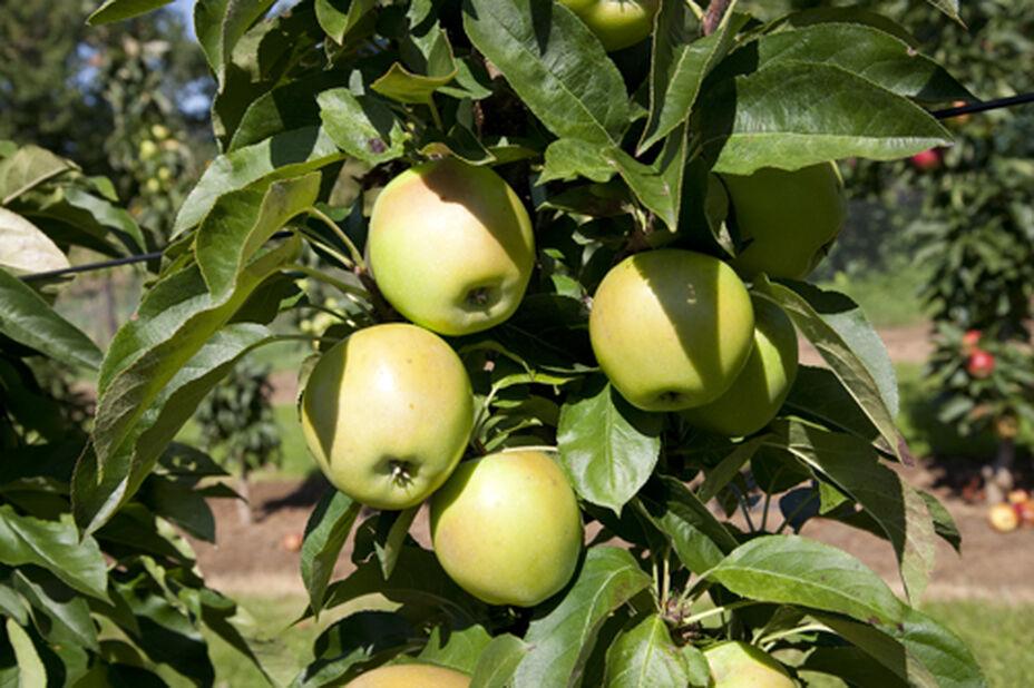 Äpple 'Silva' 12L