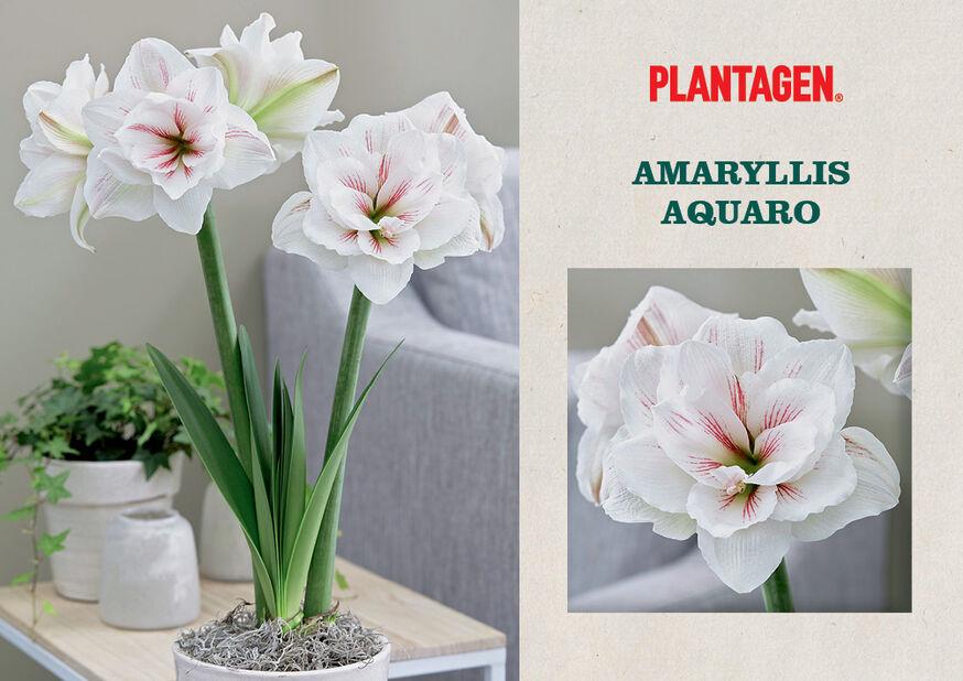 Amaryllis 'Aquaro', Flerfärgad