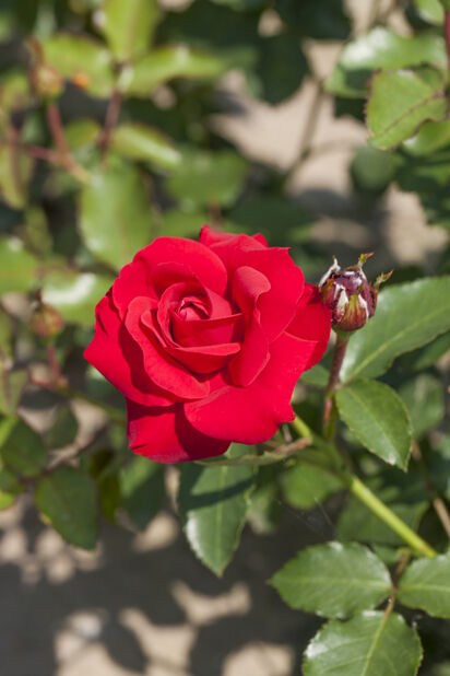Klasblommig ros 'Nina Weibull', Höjd 25 cm, Röd