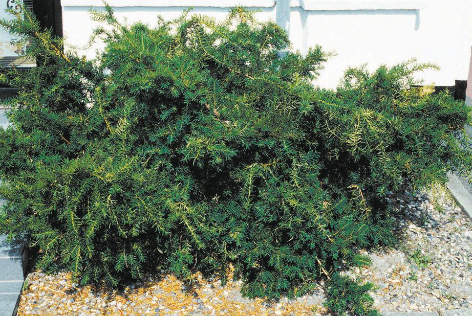 Krypidegran 'Repandens', Ø26 cm, Grön
