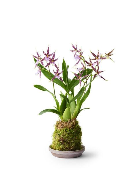 Orkidé i mossa