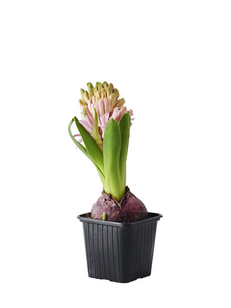 Hyacint, Ø7 cm, Rosa