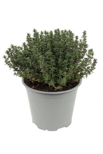 Kryddtimjan, Ø14 cm, Grön