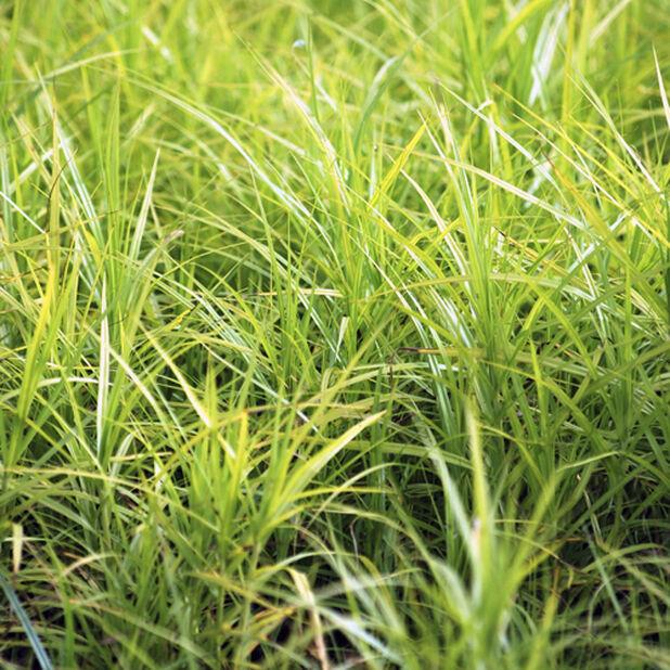 Oshimastarr 'Evergold', Ø19 cm, Grön