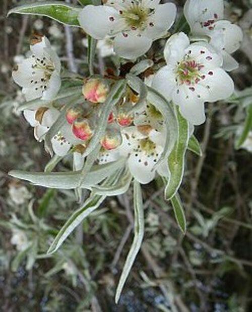 Silverpäron på stam