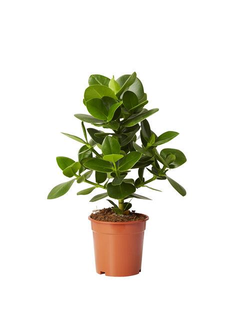 Narrfikus, Höjd 40 cm, Grön